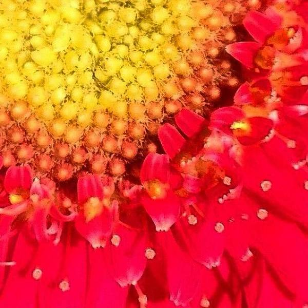 Floral Photograph - Macro Of Gerbera Daisy  by Irina Moskalev