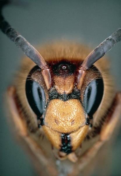 Hornet Photograph - Macrophoto Of Head Of Hornet Vespa Crabro by Dr. Jeremy Burgess