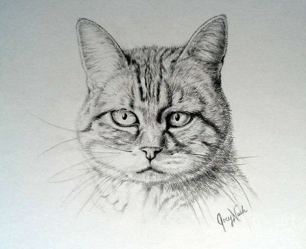Tabby Drawing - Madelaine by Joey Nash