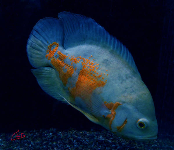 Photograph - Magic Fish Name Oscar  by Colette V Hera  Guggenheim