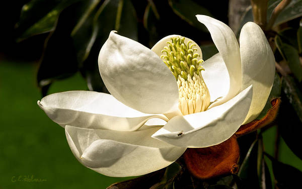 Photograph - Magnolia II by Christopher Holmes