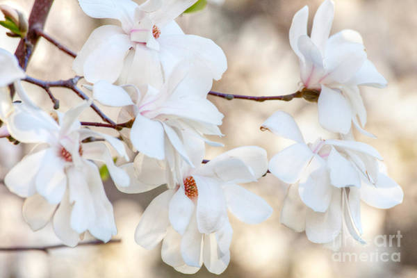 Wall Art - Photograph - Magnolia Spring by Susan Cole Kelly