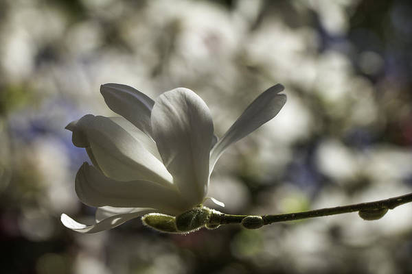 Photograph - Magnolia X Loebneri  Merrill. by Clare Bambers