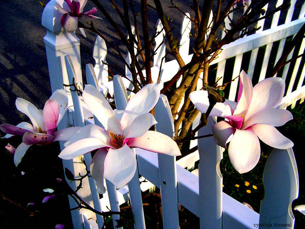 Art Print featuring the photograph Magnolis's On A Picket Fence by Cynthia Amaral