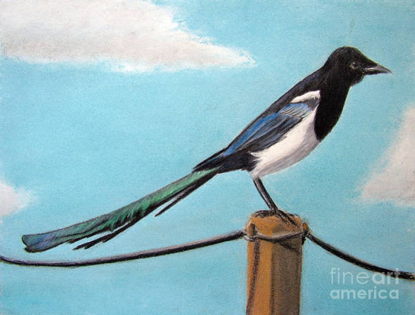 Magpies Drawing - Magpie by Popokino Art