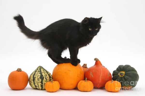 Photograph - Maine Coon Kitten On Halloween Pumpkins by Mark Taylor