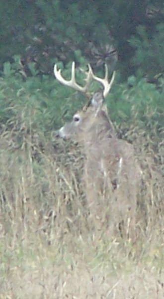 Photograph - Majestic Buck by Kathy Laughlin