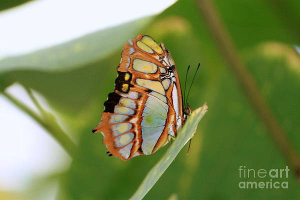 Wall Art - Photograph - Malachite Butterfly by Eric Irion