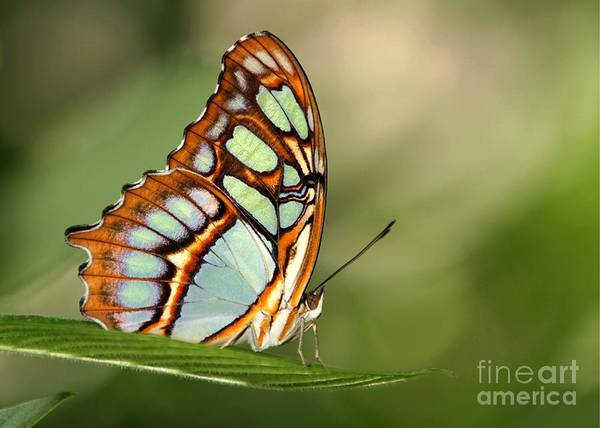 Photograph - Malachite Butterfly by Sabrina L Ryan