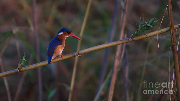 Photograph - Malachite Kingfisher by Mareko Marciniak