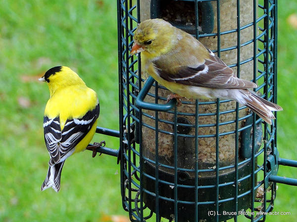 Mixed Media - Male And Female Goldfinches by Bruce Ritchie