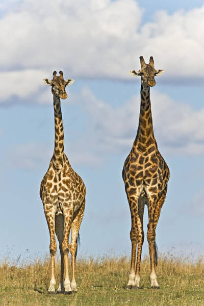Photograph - Male And Female Masai Giraffes  by Ingo Arndt