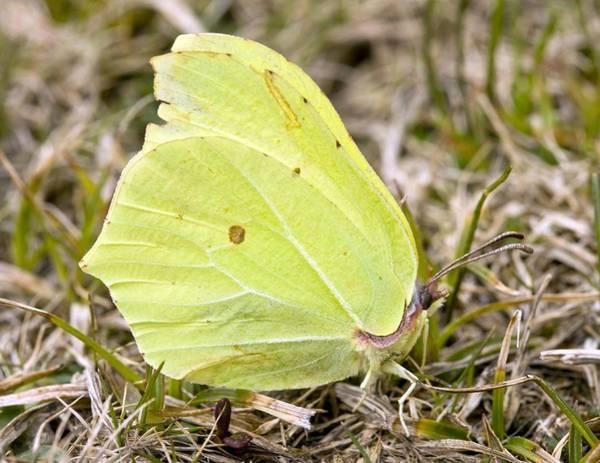 Brimstone Photograph - Male Brimstone Butterfly by Bob Gibbons