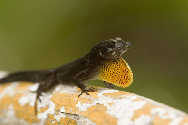 Brown Anole Wall Art - Photograph - Male Brown Anole Norops Sagrei by Tim Laman
