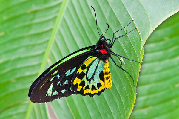 Flutterby Wall Art - Photograph - Male Cairns-birdwing Butterfly by Chris Thaxter