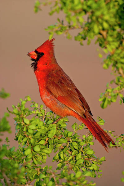 Photograph - Male Cardinal 2 by D Robert Franz