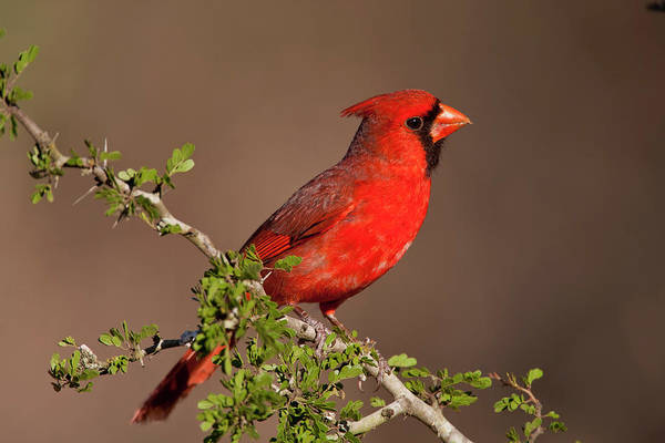Photograph - Male Cardinal by D Robert Franz