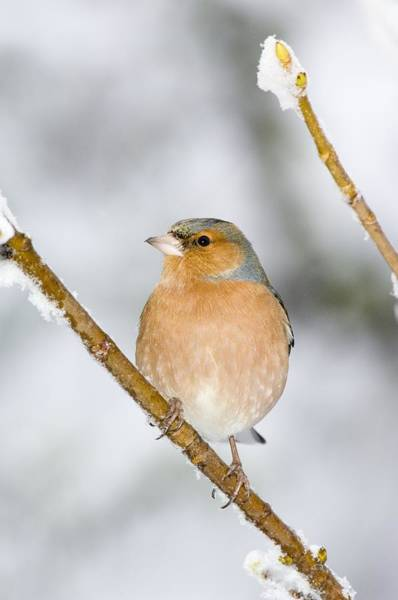 Wall Art - Photograph - Male Chaffinch Perched In A Sycamore Tree by Duncan Shaw