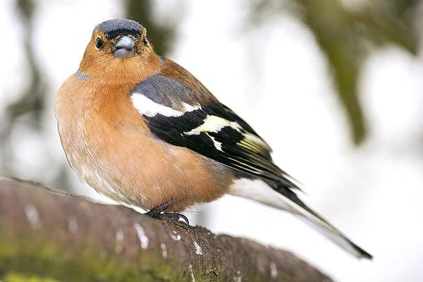 Wall Art - Photograph - Male Chaffinch Perched On A Branch by Power And Syred
