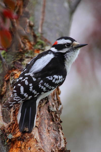 Wall Art - Photograph - Male Downy Woodpecker by Bruce J Robinson