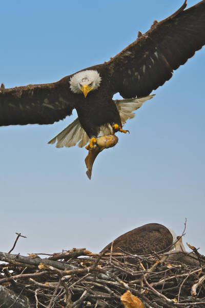 Photograph - Male Eagle With Dinner by Dale J Martin