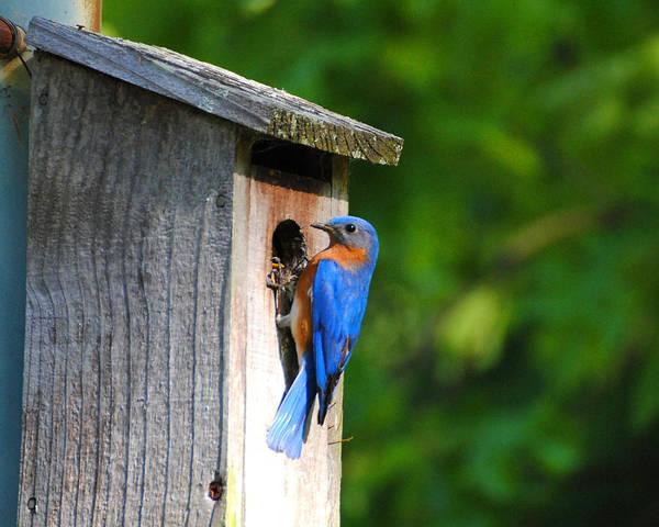 Photograph - Male Eastern Bluebird II by Jai Johnson