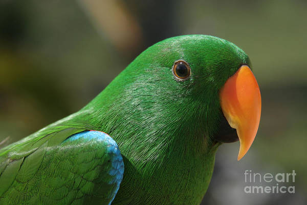 Photograph - Male Eclectus Parrot by Sharon Mau