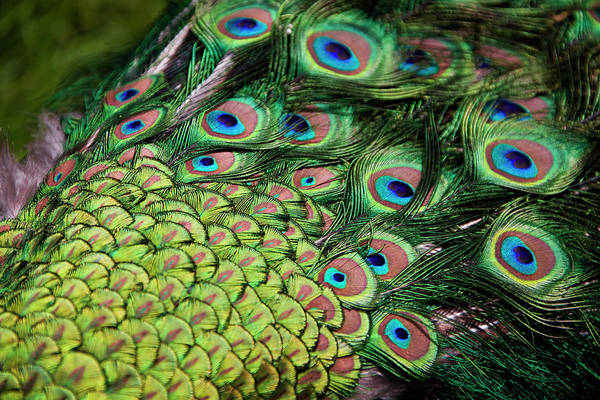 Wall Art - Photograph - Male Peacock (pavo Cristatus) Displaying Tail Feathers by Altrendo Travel