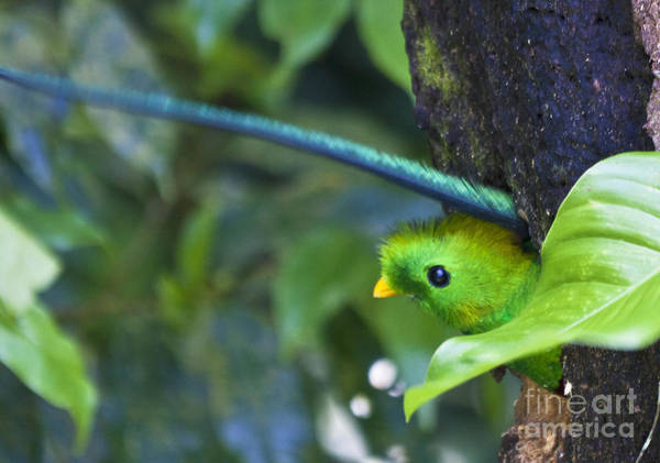 Photograph - Male Quetzal Working On Nest Hole by Heiko Koehrer-Wagner