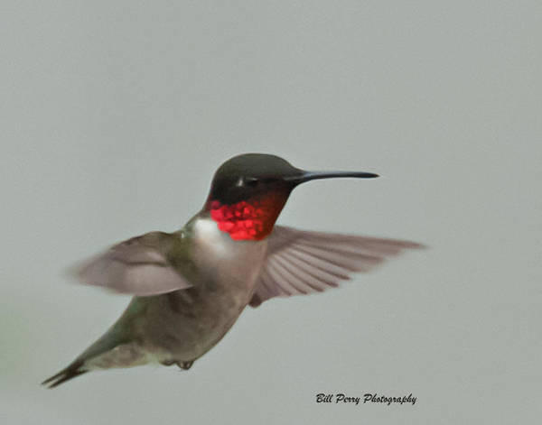 Wall Art - Photograph - Male Red Throated Hummingbird by Bill Perry