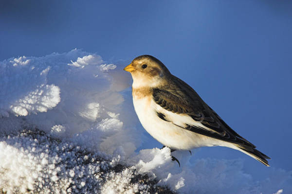 Wall Art - Photograph - Male Snow Bunting by Duncan Shaw