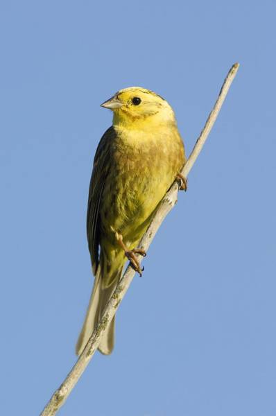 Wall Art - Photograph - Male Yellowhammer by Duncan Shaw
