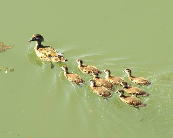 Digital Art - Mama Duck And Ducklings by James Granberry