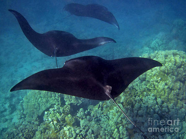 Photograph - Mantas In Motion by Bette Phelan