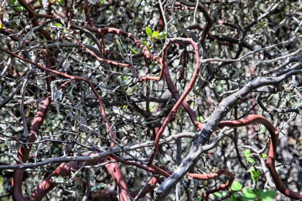 Photograph - Manzanita Tangle by Peter Dyke