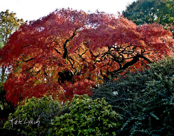 Photograph - Maple Fire by Kate Lynch