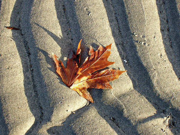 Photograph - Maple Leaf Forever by Marilyn Wilson