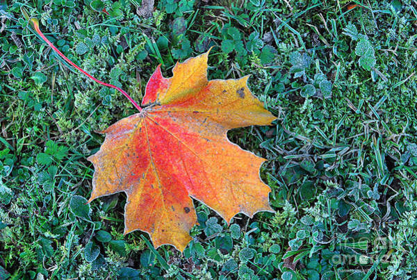 Photograph - Maple Leaf by Hannes Cmarits
