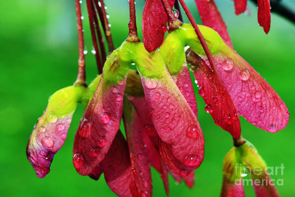 Acer Saccharum Photograph - Maple Seeds In The Rain by Thomas R Fletcher
