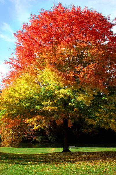 Photograph - Maple Tree In Autumn Colors by Emanuel Tanjala