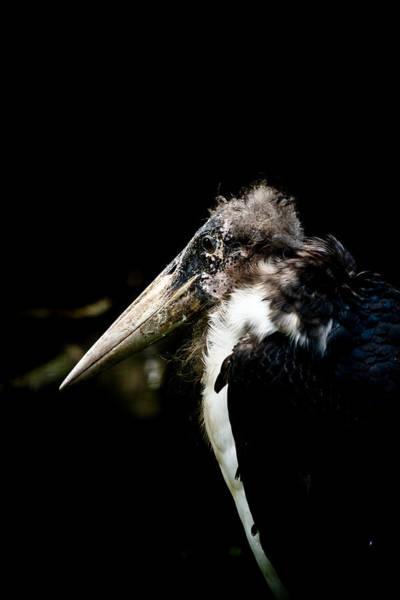 Hakon Photograph - Marabou Stork by Hakon Soreide
