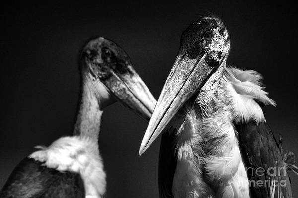 Art Print featuring the photograph Marabou Stork by Mareko Marciniak