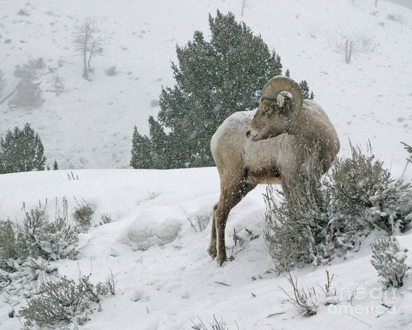 Photograph - March Ram by Katie LaSalle-Lowery