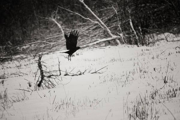 Monotone Photograph - March Raven by Susan Capuano