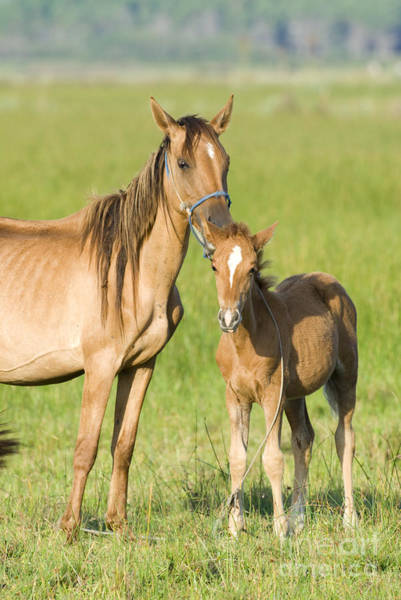 Mare And Foal Photograph - Mare With Colt by William H Mullins and Photo Researchers