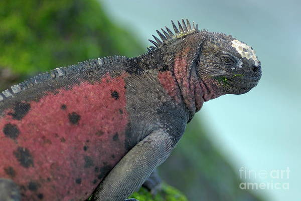 Ugliness Photograph - Marine Iguana On Rock Covered By Green Seaweed by Sami Sarkis