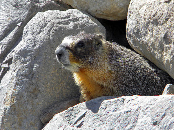 Photograph - Marmot Emerging From Den by Frank Wilson