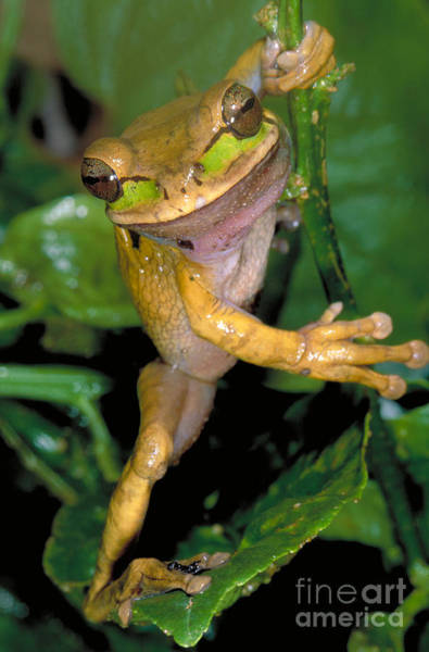 Photograph - Masked Treefrog by Gregory G Dimijian