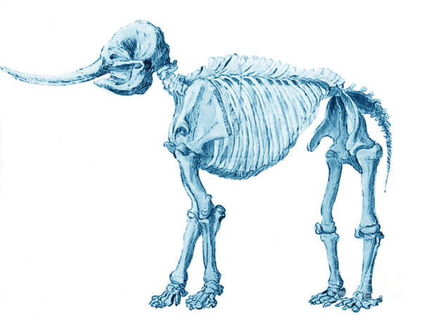 Photograph - Mastodon Skeleton by Science Source