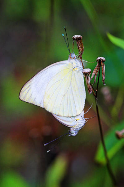 Wall Art - Photograph - Mating Butterflies- St Lucia by Chester Williams